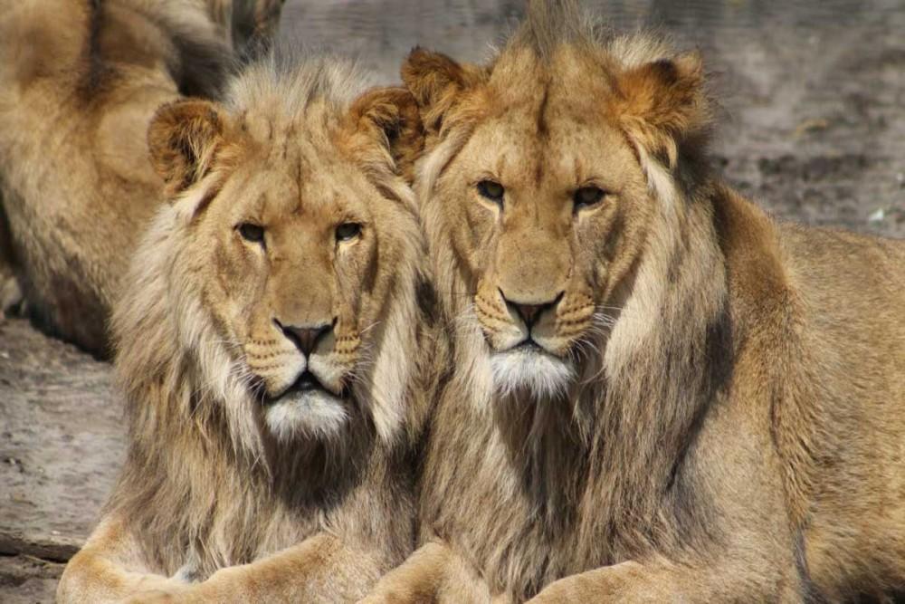 شیر چه برتری دارد که سبب شده سلطان جنگل گردد - قسمت اول
