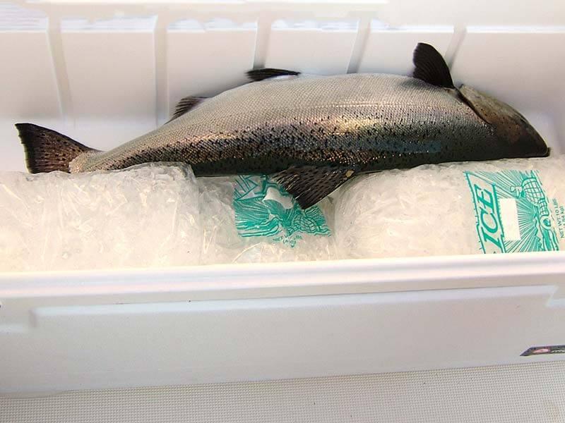 نگهداری ماهی تازه در یخچال